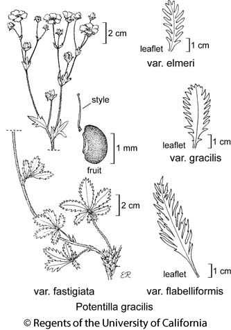 botanical illustration including Potentilla gracilis var. gracilis