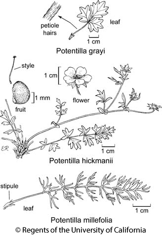 botanical illustration including Potentilla hickmanii