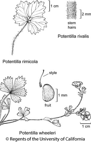 botanical illustration including Potentilla rivalis