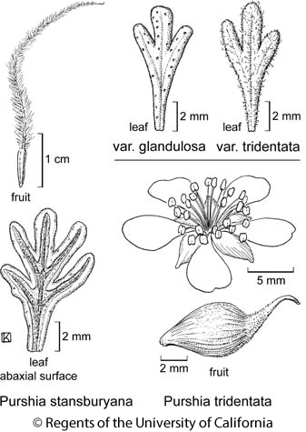 botanical illustration including Purshia tridentata var. glandulosa