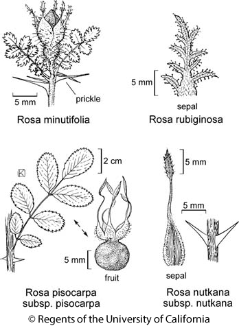 botanical illustration including Rosa nutkana subsp. nutkana