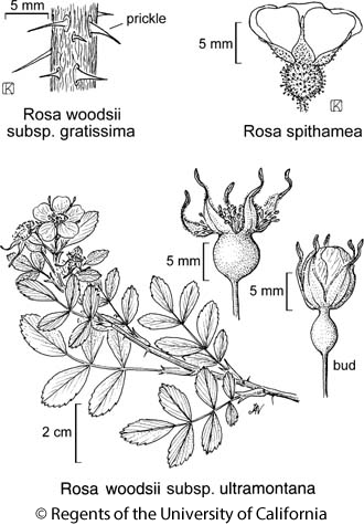 botanical illustration including Rosa spithamea