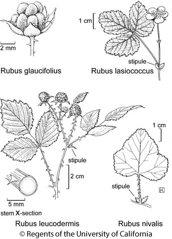 botanical illustration including Rubus glaucifolius