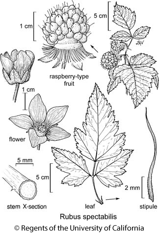 botanical illustration including Rubus spectabilis