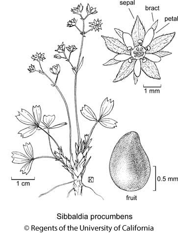 botanical illustration including Sibbaldia procumbens