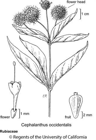 botanical illustration including Cephalanthus occidentalis