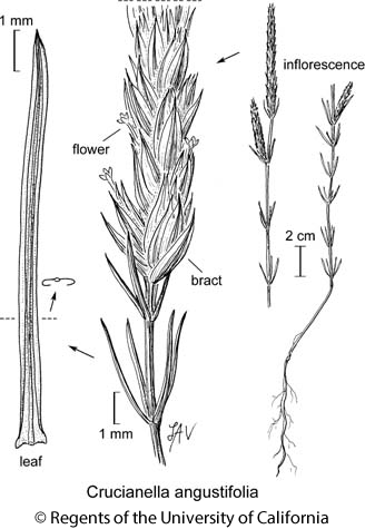 botanical illustration including Crucianella angustifolia