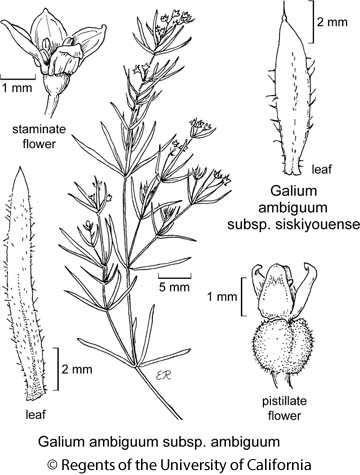 botanical illustration including Galium ambiguum subsp. siskiyouense