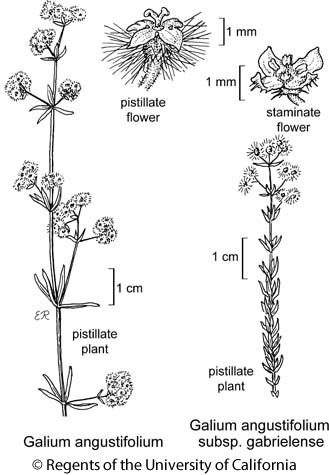 botanical illustration including Galium angustifolium