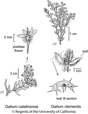 botanical illustration including Galium clementis