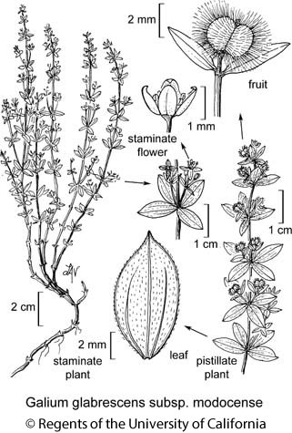 botanical illustration including Galium glabrescens subsp. modocense