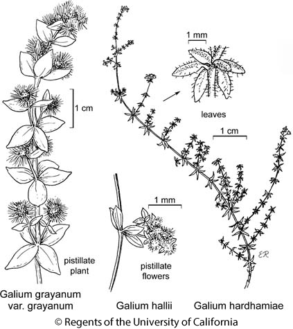 botanical illustration including Galium grayanum var. grayanum