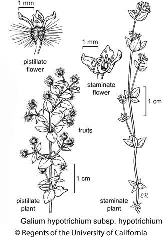 botanical illustration including Galium hypotrichium subsp. hypotrichium