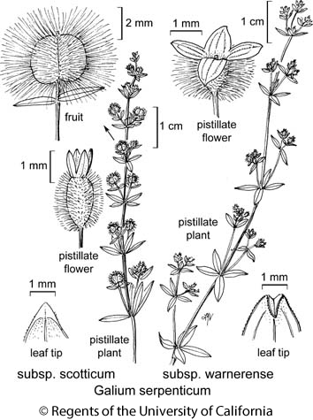 botanical illustration including Galium serpenticum subsp. warnerense