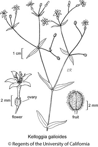 botanical illustration including Kelloggia galioides