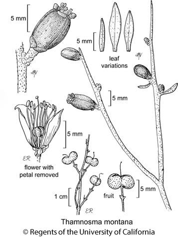botanical illustration including Thamnosma montana