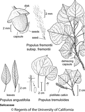 botanical illustration including Populus fremontii subsp. fremontii