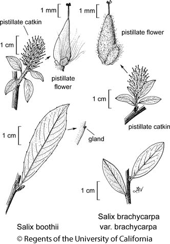 botanical illustration including Salix brachycarpa var. brachycarpa