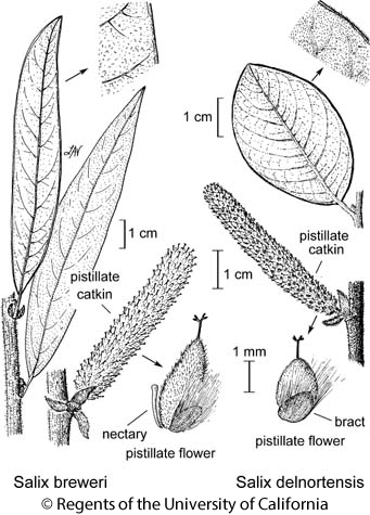 botanical illustration including Salix delnortensis