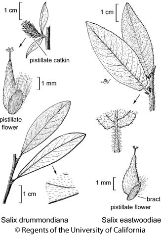 botanical illustration including Salix eastwoodiae