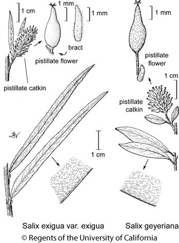 botanical illustration including Salix geyeriana