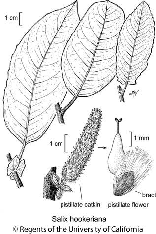 botanical illustration including Salix hookeriana