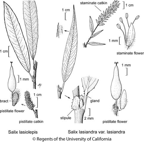 botanical illustration including Salix lasiandra var. lasiandra