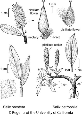 botanical illustration including Salix petrophila