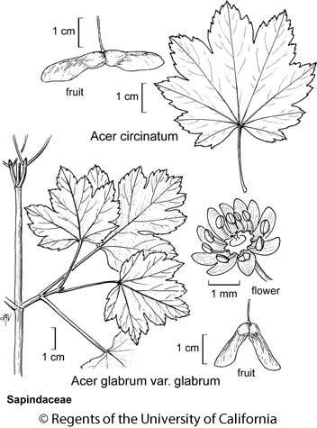 botanical illustration including Acer glabrum var. glabrum