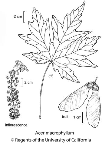 botanical illustration including Acer macrophyllum
