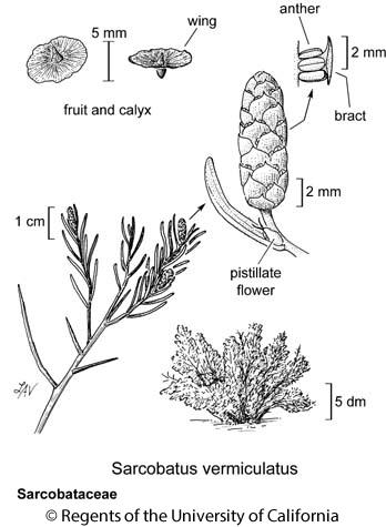 botanical illustration including Sarcobatus vermiculatus