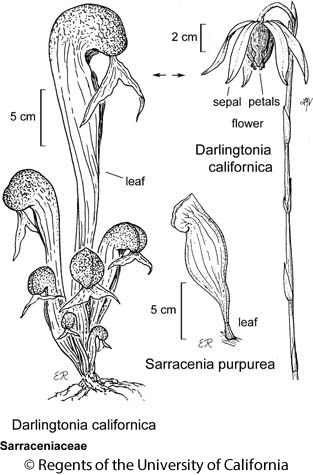 botanical illustration including Sarracenia purpurea