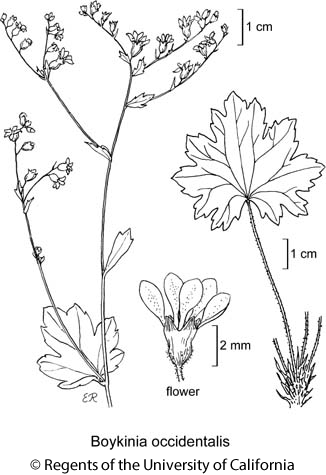 botanical illustration including Boykinia occidentalis