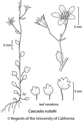 botanical illustration including Cascadia nuttallii