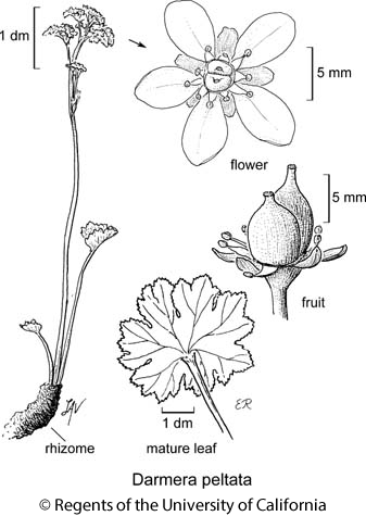 botanical illustration including Darmera peltata