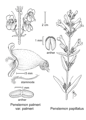 botanical illustration including Penstemon papillatus